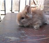 Изображение в Домашние животные Грызуны продаю красивых пуховых кролят,     чёрные, в Нижнем Новгороде 500