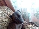 Фото в Домашние животные Вязка собак девочка пит ищет жениха для вязки. в Иркутске 0