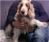 Изображение в Домашние животные Вязка собак Ищем девочку для английского кокер спаниеля,2,5 в Челябинске 0