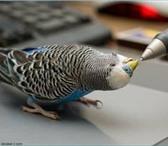 Фотография в Домашние животные Птички Продаю волнистых попугайчиков,всех цветов в Камышине 500