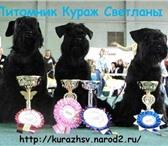 Фотография в Домашние животные Выставки собак Продаются цвергшнауцеры чёрного окраса, 2месяца. в Ставрополе 20000