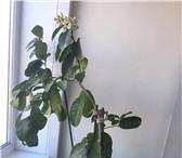 Изображение в Домашние животные Растения Деревцо высотой 1.60 метра.Обильно плодоносящее. в Владивостоке 8000