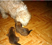 Изображение в Домашние животные Отдам даром Щенки - метисы болонки ищут своего друга в Казани 0