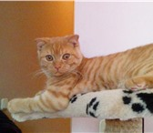 Foto в Домашние животные Вязка Вязка Британец, привитый, с хорошей родословной, в Волгограде 2000