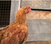 Изображение в Домашние животные Птички Продам 3-х месячных петухов. Один петух 200 в Владивостоке 200