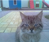 Изображение в Help! Находки Найден котик п.Малиновка Гурьевский район. в Калининграде 0