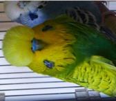 Foto в Домашние животные Птички Продаются выставочные волнистые попугаи от в Таганроге 5000