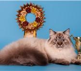 Foto в Домашние животные Вязка Невская Маскарадная кошка хочет кота для в Казани 0