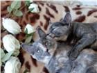 Масянька и Пушинка ждут Верных Друзей 4805374 Другая порода фото в Иркутске